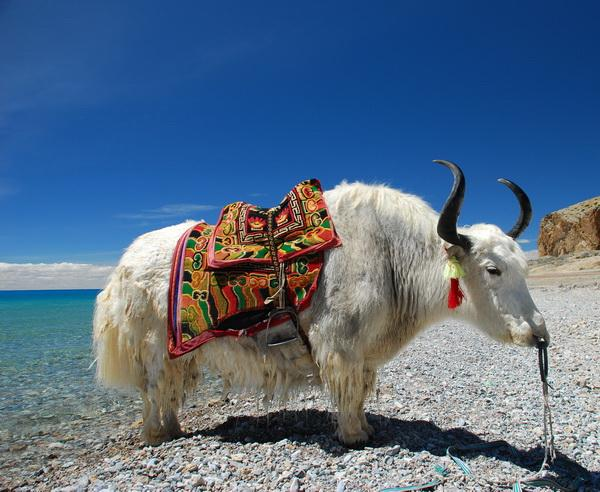 Reise in China, Yak vor einem See in Tibet
