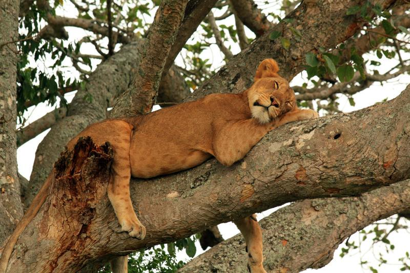 Reise in Uganda, Auf Pirsch nach baumkletternden Löwen