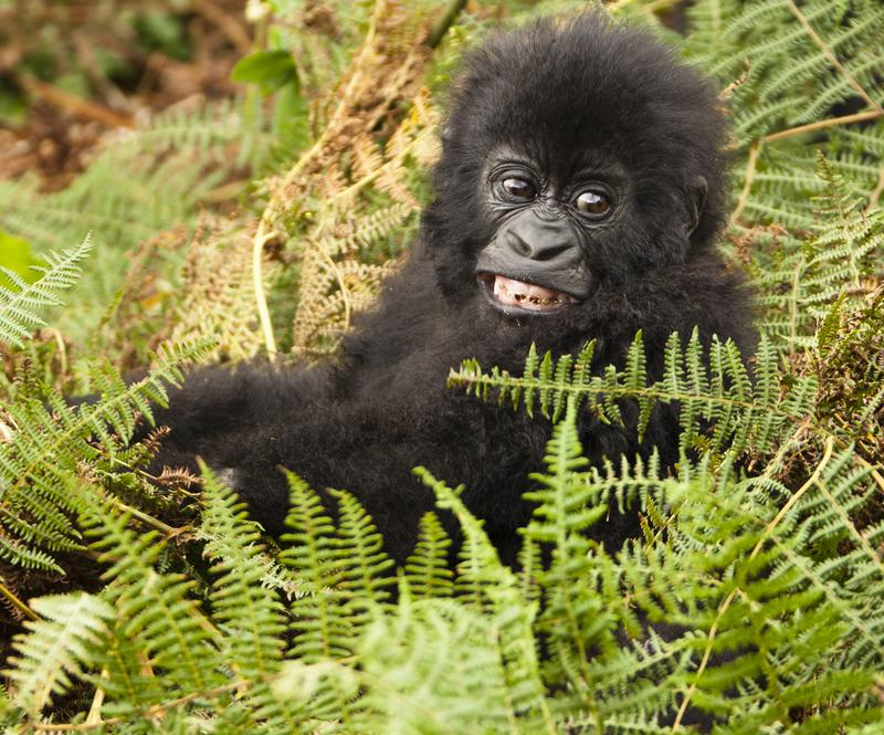 Reise in Uganda, Berggorillas hautnah erleben in Uganda