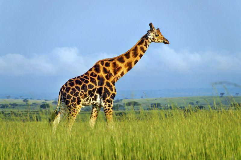 Reise in Uganda, Giraffen in Sicht: Unterwegs zum Lake Mburo-Nationalpark in Uganda