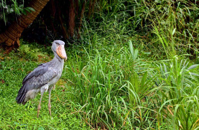 Reise in Uganda, Auf Suche nach dem Schuhschnabel-Storch in Uganda