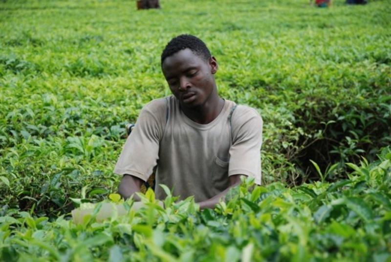 Reise in Uganda, Teeplücker im Hochland Ugandas