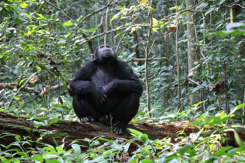 Reise in Uganda, Schimpanse im Kibale-Wald in Uganda