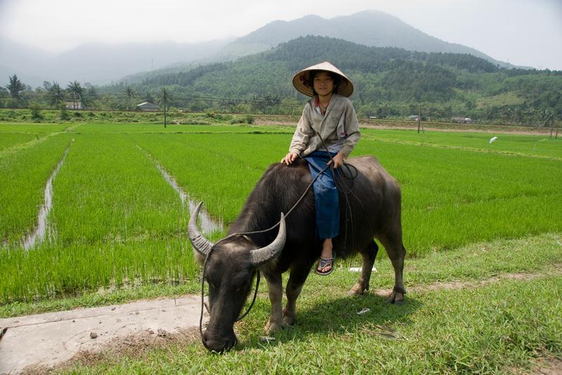 Reise in Vietnam, Eine Frau sitzt vor einem vietnamesischen Feld vor einem Ochsen