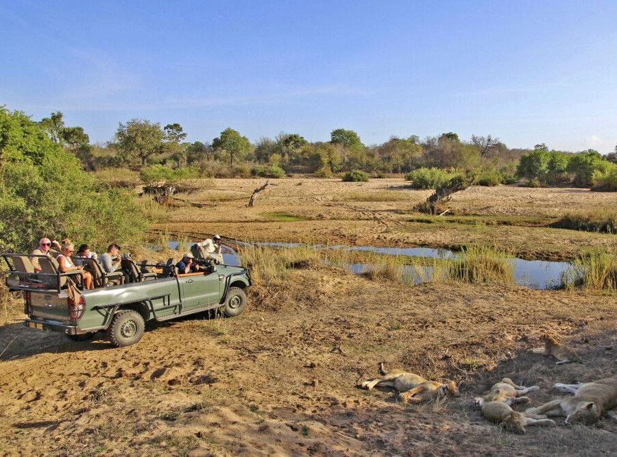 Reise in Südafrika, Safari-Begegnungen mit einem Löwenrudel im Krüger-Nationalpark