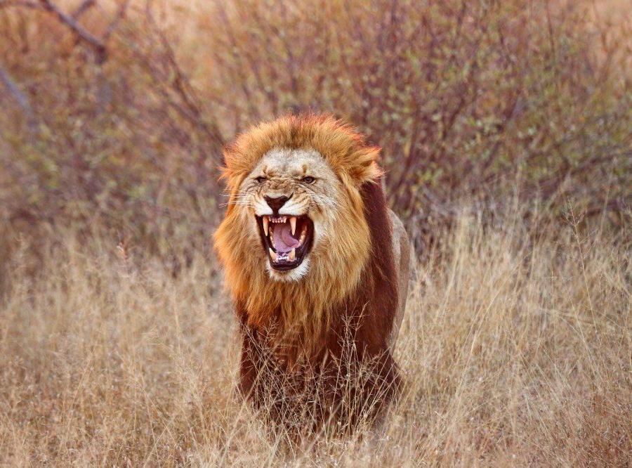 Reise in Südafrika, Löwe im Krüger-Nationalpark