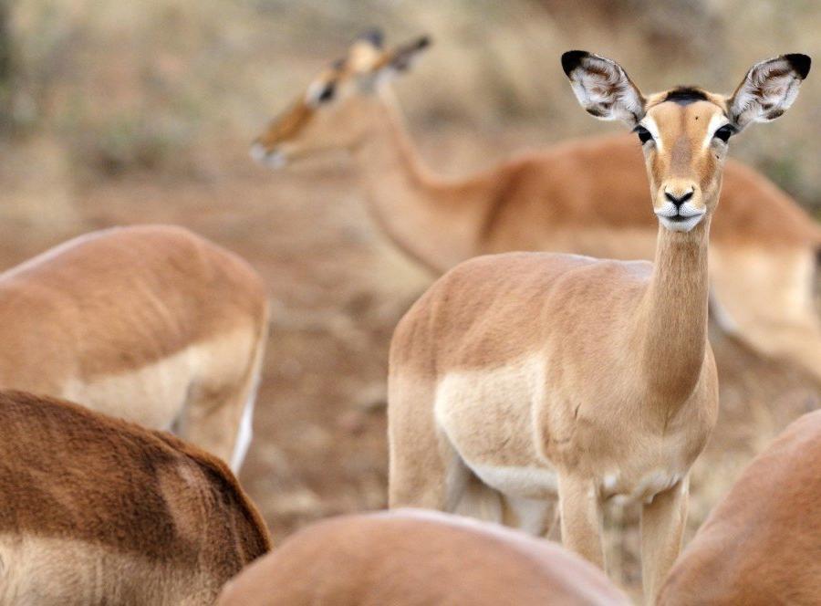 Reise in Südafrika, Impalas, Krüger-Nationalpark, Südafrika