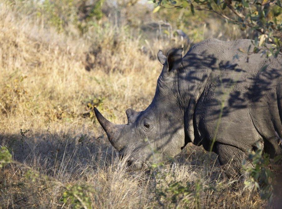 Reise in Südafrika, Nashorn im Krüger-Nationalpark