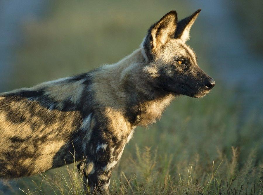 Reise in Botswana, Wildhunde gelten als stark gefährdet