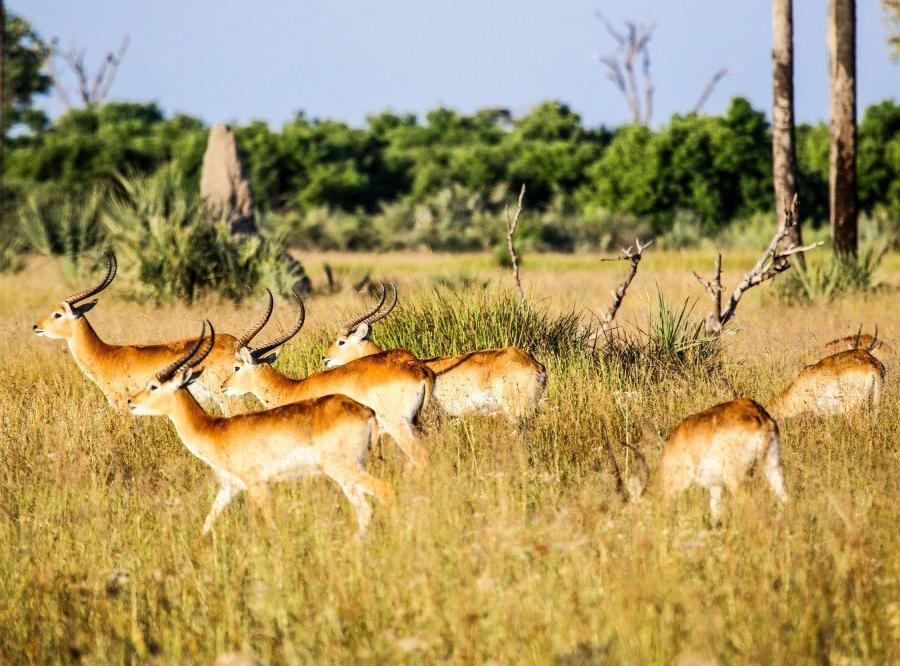 Reise in Botswana, Antilopen im Okavango-Delta