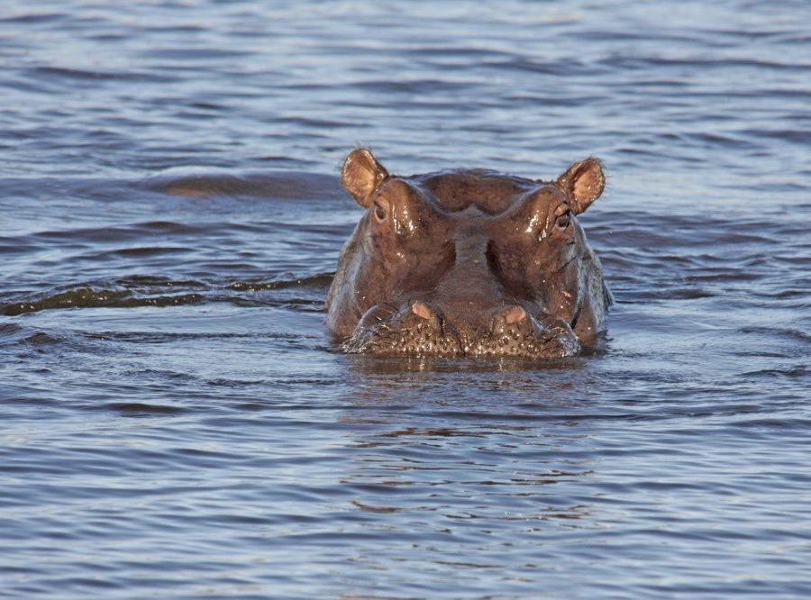 Reise in Botswana, Flusspferd in seinem Element