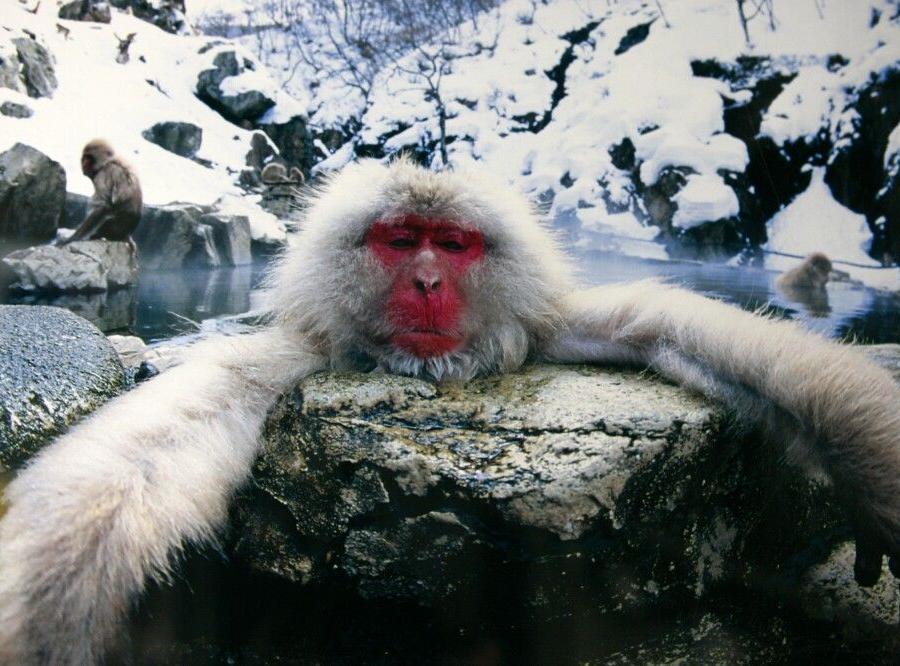 Reise in Japan, Japanmakak im Jigokudani Nationalpark