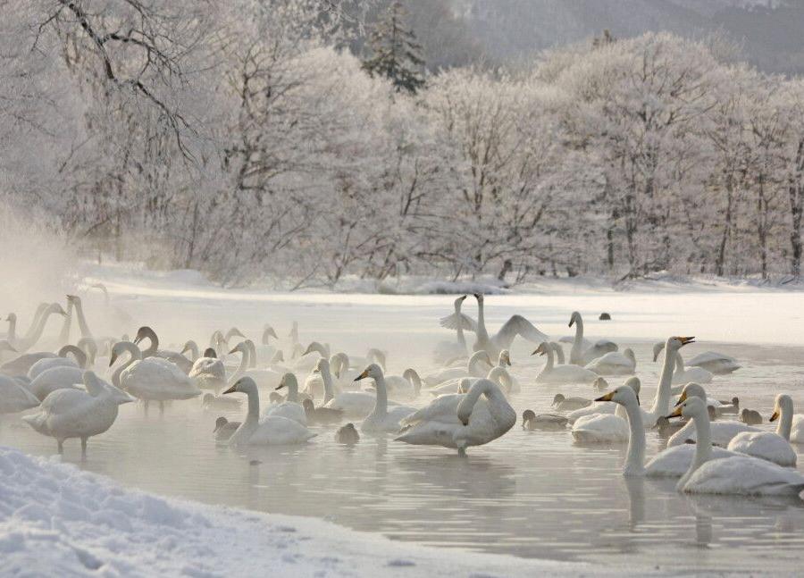 Reise in Japan, Singschwäne am Kussharo-See
