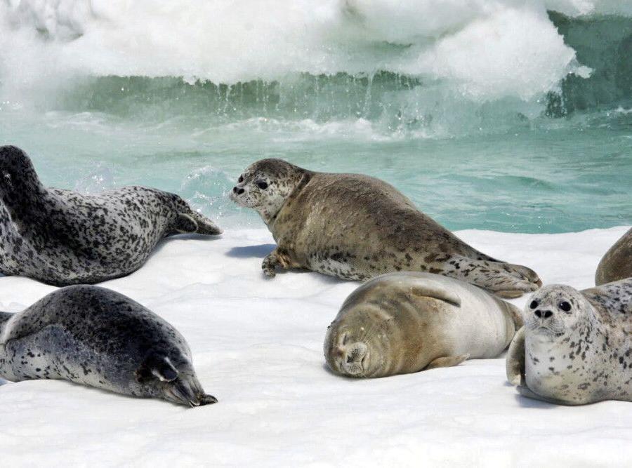Reise in Japan, Seehunde auf dem Packeis vor Rausu