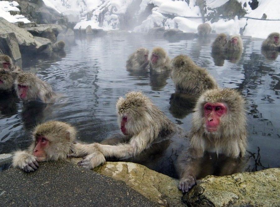Reise in Japan, Japanmakaken im Jigokudani Nationalpark