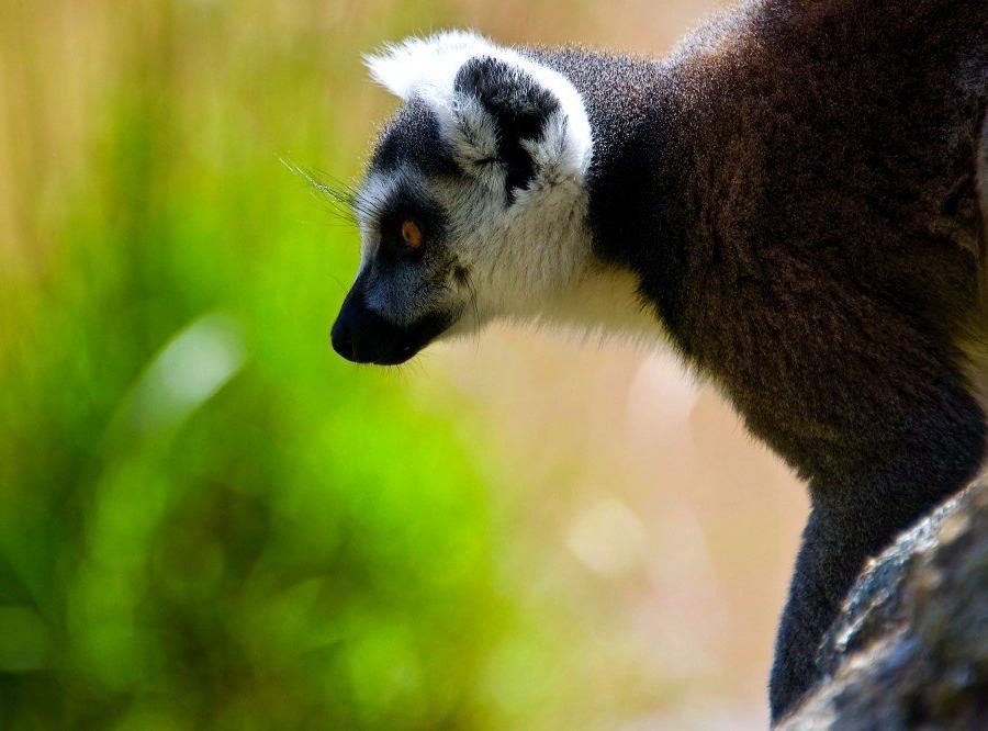 Reise in Madagaskar, Katta_Ringelschwanzlemur