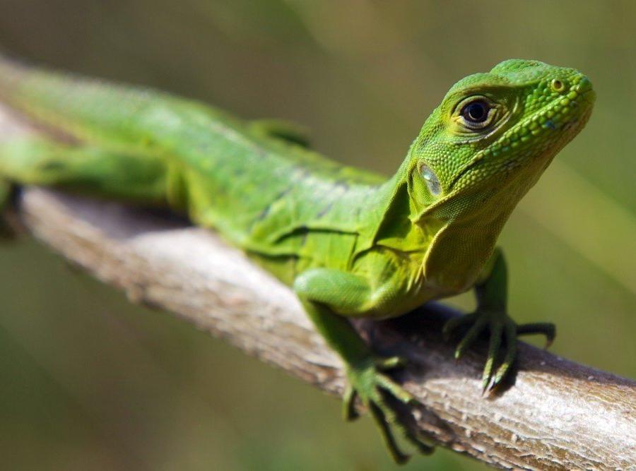 Reise in Nicaragua, Leguan klein