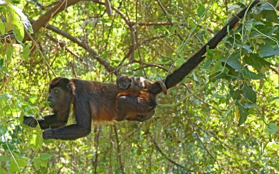 Reise in Nicaragua, Affen Nicaragua